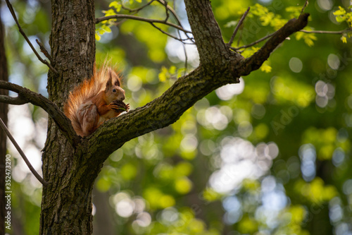 Red squirrel on a tree branch gnaws a nut. #352473290