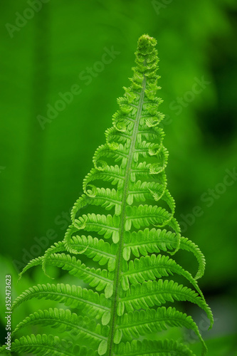 Fern leaves grow in the forest. #352473623