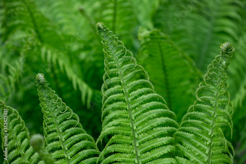 Fern leaves grow in the forest. #352473651
