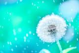 Fototapeta Dmuchawce - macro shot of a dandelion.Blue background. Drops of dew close up. Summer Freedom Concept. Design Element. Rain, beautiful bokeh in defocus.