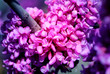 Leinwandbild Motiv Photo of spring pink buds with bees