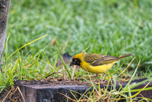 Male Southern Masked Weaver, Foraging For Food On The Ground