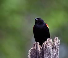 Red Winged Blackbird Perched O...