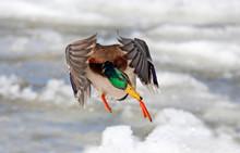 Male Mallard Duck Anas Platyrhynchos Drake In Flight Against A Blue Winter Sky In Canada