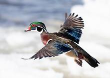 Wood Duck Male Taking Flight In Winter In Ottawa, Canada