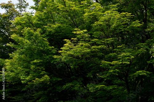 Photo 新緑の葉が増えてきた林