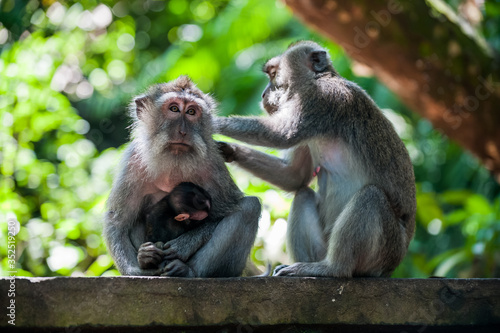Long Tailed Macaques Grooming, Sacred Monkey Forest Sanctuary and Temple, Ubud, Canvas Print