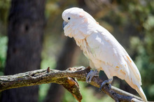 White Cockatoo On Tree Branch ...