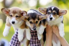 Welsh Corgi Pembroke, Three Welsh Corgi Pembroke Puppy In Hands Man And Girl On Blurred Background In Park