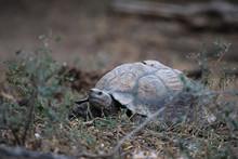 Large Mountain Tortoise In The Arid Great Karoo