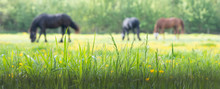Grass And Yellow Flowers With Grazing Horses In The Background