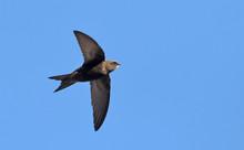 Apus Apus (Common Swift, European Swift, Swift), Greece
