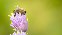 Honey Bee Collecting Nectar Fr...