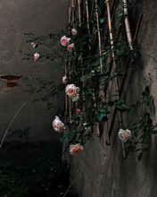 Pink Rose Flowers On The Wall