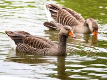 A Pair Of Greylag Geese Enjoying A Swim.