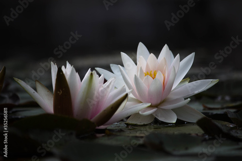 Canvas-taulu Close-up Of Lotus Water Lily In Pond