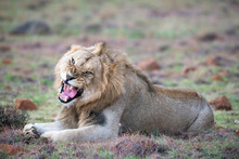 Male Lion Yawning