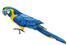 Blue Parrot On An Isolated Whi...