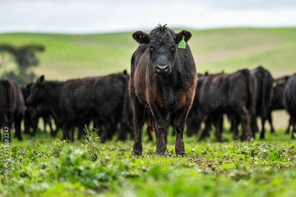 Fototapeta cows in australia