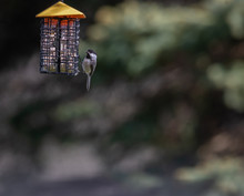 Black-capped Chickadee At A Suet Feeder In Spring