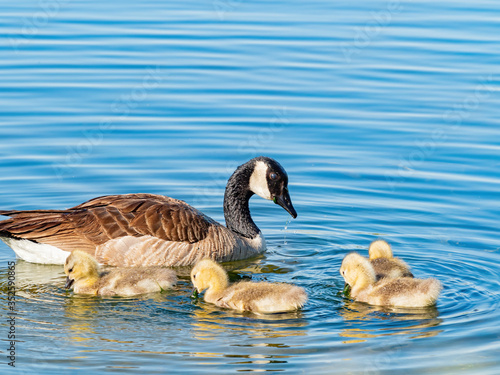 Tablou Canvas Close up of Canada goose and its child