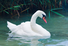 A Swan With A Gracefully Curve...