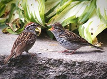 High Angle View Of Chipping Sparrows On Rock Against Plant
