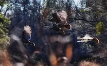 Wild Turkey Birds Flying Against Trees