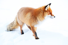 Full Length Of Red Fox On Snow Covered Field