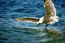 Seagull Landing On Sea
