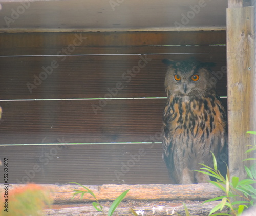 фотография Eurasian eagle owl is a large heavy bird with prominent ear tufts and powerful feathered talons