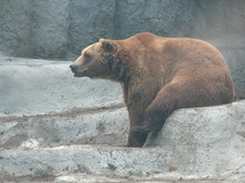 Side View Of Grizzly Bear On Rock