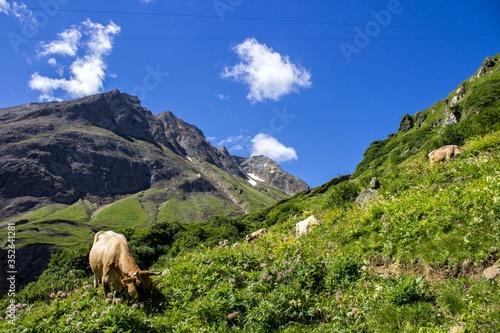 Canvastavla Cows Grazing On Hillside