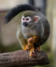 Common Squirrel Monkey (Saimir...