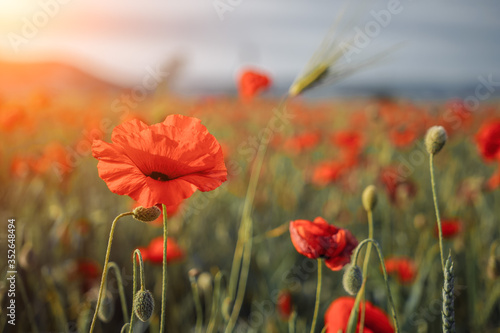 Fototapety, obrazy: field with green grass and red poppies against the sunset sky. Beautiful field red poppies with selective focus. Red poppies in soft light. Opium poppy. Glade of red poppies. Soft focus blur