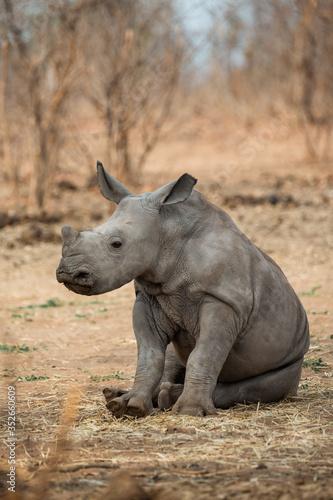 baby rhino Fototapeta