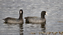 A Pair Of American Coots.