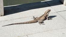 High Angle View Of Bearded Dragon On Walkway