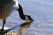 Canada Goose Drinking Water At...