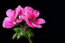 Close-up Of Pink Geranium Flowers Against Black Background