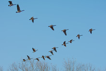 Low Angle View Of Canada Geese Flying Against Clear Blue Sky