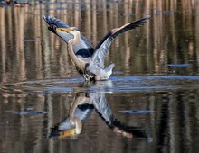 Great Blue Heron Flapping Wings With Reflection In Lake