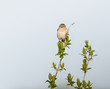 Field Sparrow Perched on Tree Branch and Calling in Spring