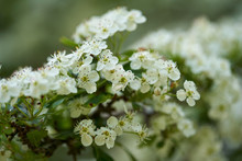 Hawthorn Flowers In Closeup