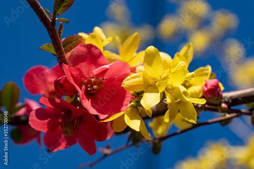 Foto Fleur de forsythia et de cognassier