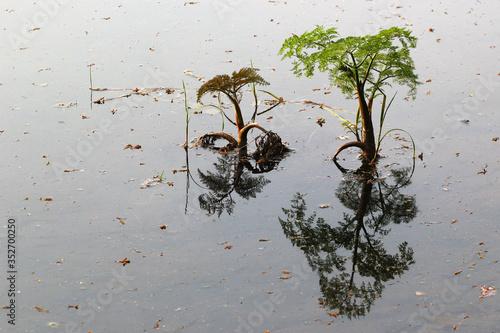 Fine-leaved water dropwort (Oenanthe aquatica), a young poisonous aquatic plant, Billede på lærred