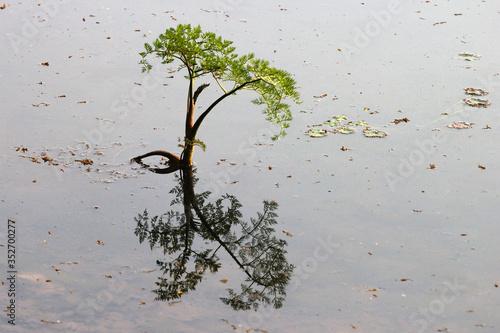Fotografering Fine-leaved water dropwort (Oenanthe aquatica), a young poisonous aquatic plant,