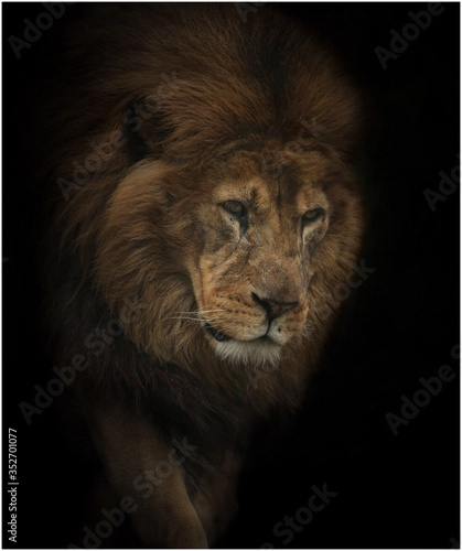 Fototapety, obrazy: Close-up Of Lion Looking Away