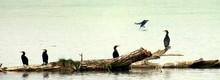 Great Cormorants Perching On D...