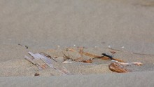 Snowy Plover Coming To Nest